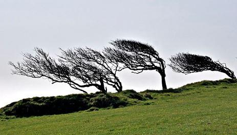Trees forever bent in the direction of the prevailing Mistral wind